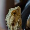 20160824-09_ Bearded Dragon Lizard
