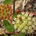 Asclepias curtissii, Scrub, Lake Wales Ridge Wildlife and Environmental Area, Highlands County, Florida 2 by Alan Cressler