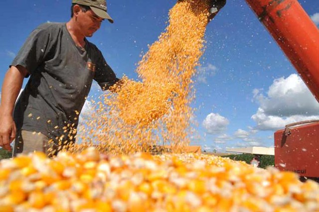 A previsão é que a safra de milho encolha 19% este ano - Créditos: Reprodução