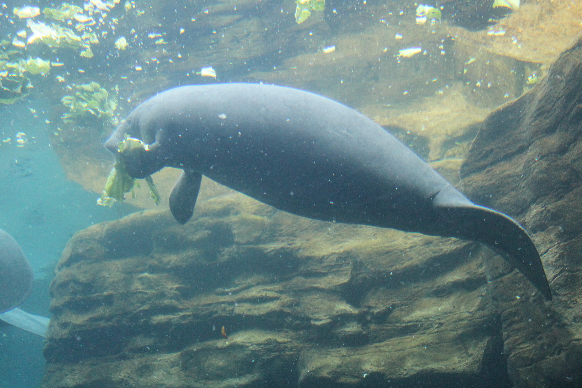 Snorkel in Crystal River and look for the wild manatees