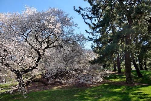 Cherry and Pine