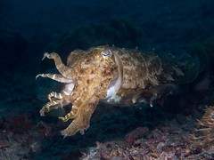 fish(0.0), animal(1.0), marine biology(1.0), invertebrate(1.0), marine invertebrates(1.0), fauna(1.0), cuttlefish(1.0), underwater(1.0), reef(1.0),