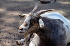 animal, mammal, horn, goats, domestic goat, fauna, close-up, wildlife,
