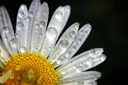 Daisy after the rain by susanc59