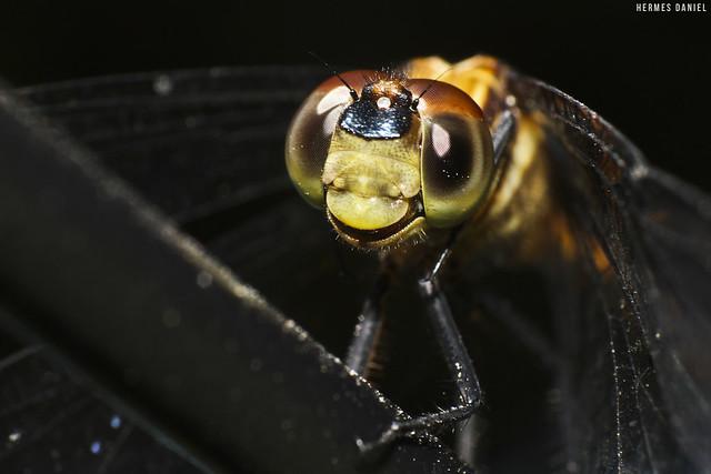Nos olhos da libélula