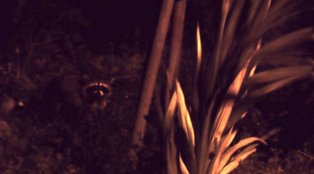 Raccoon in The Richmond, night.  San Francisco (2013)