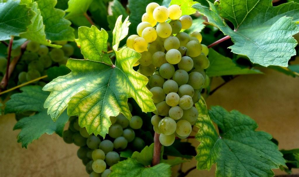 Racimo de uvas blancas. Autor, Tuku