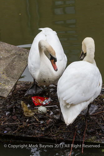 Swans on nest with egg, Wapping Canal