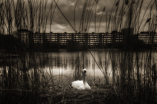 lake water swan