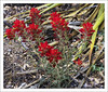 Rigid Indian Paintbrush (Castilleja rigida)