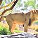 San Diego Safari Park Lion