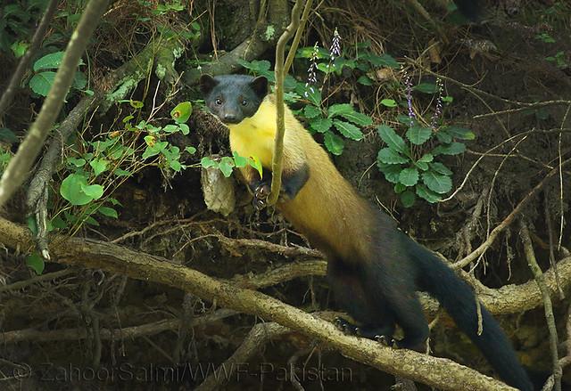 Yellow throated marten