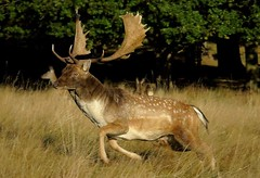 HolderFallow Stag