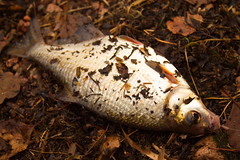 Fresh bream fish on the autumn leaves