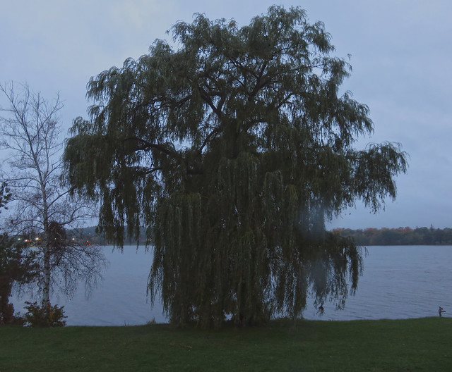 Willow tree at Lake Quannapowitt with rain (2016)