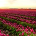Tulip Fields by Meher Anand
