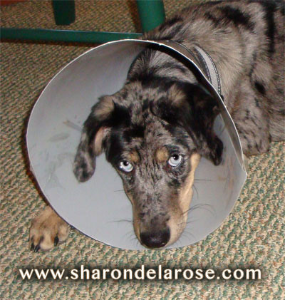 Elizabethan dog collar head cone