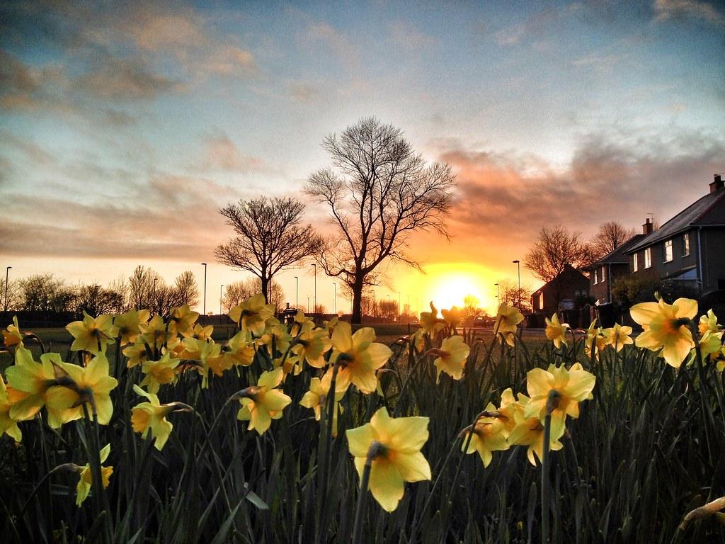 Sunrise and Daffodils