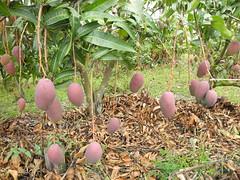 曲溪居民種植的芒果樹。