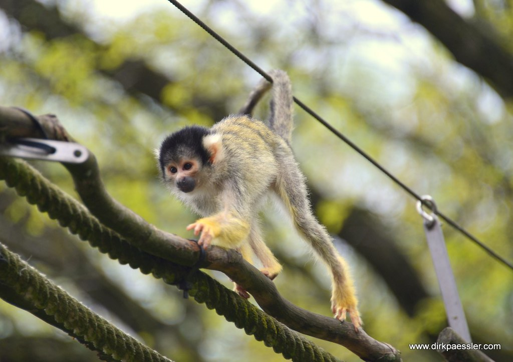 Squirrel Monkey by Dirk Paessler