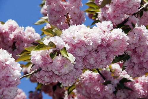 Picture Of Closeup Of Pink Cherry Blossom. Photo taken Saturday May 4, 2013