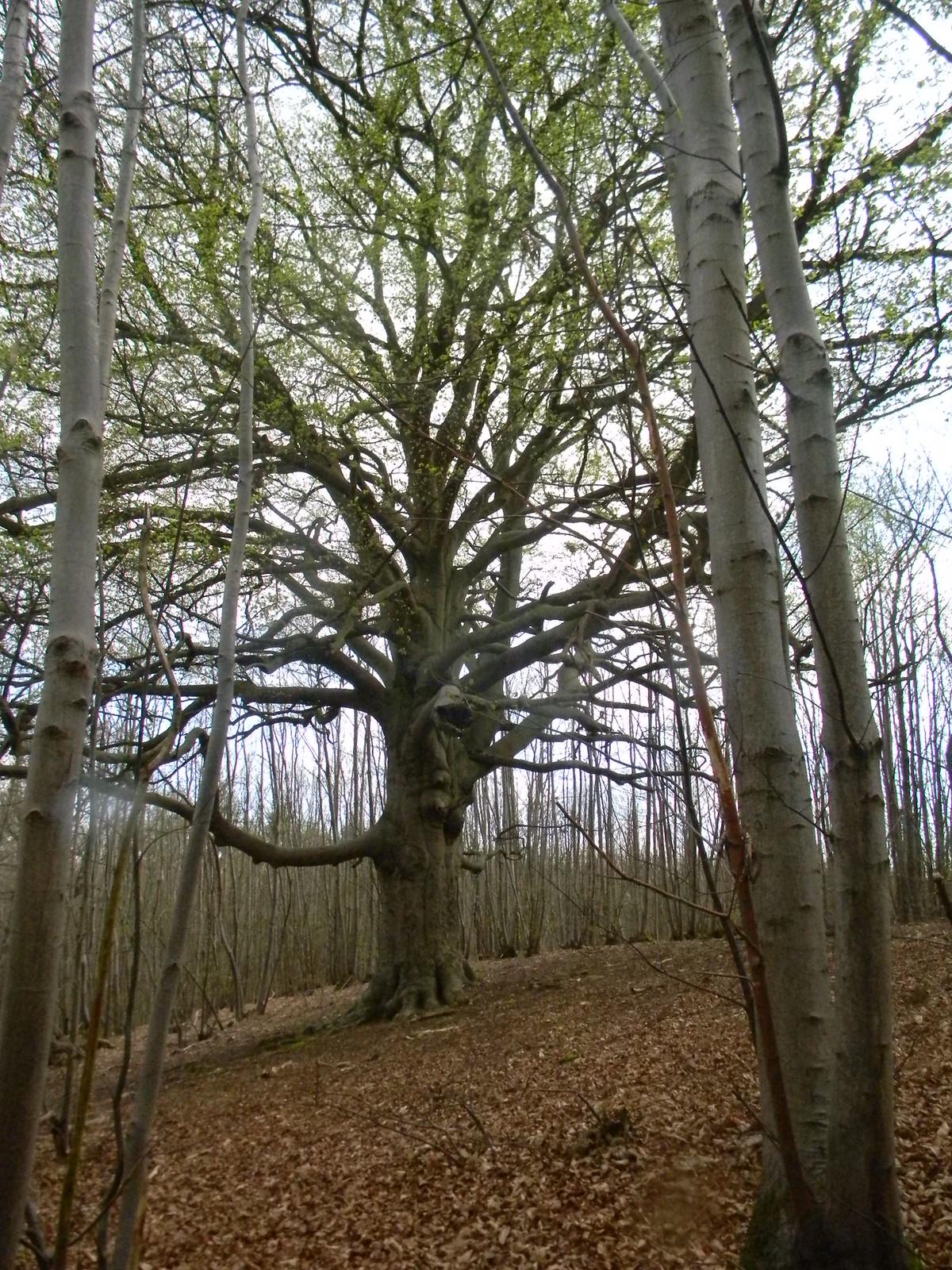 Big tree Bekesbourne Circular