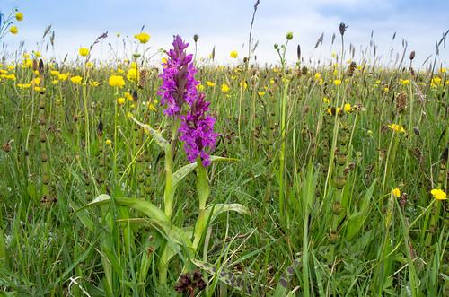 Brede orchis bloeit vanaf begin mei (foto: Mark Meijrink)