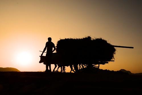 life sunset people india home silhouette work nikon country harvest cart bengal 2012 peasant returninghome explored purulia ধান pallabseth murgums