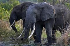 Elephants in Garamba