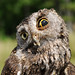 Owl injured from collision with car by USFWS/Southeast