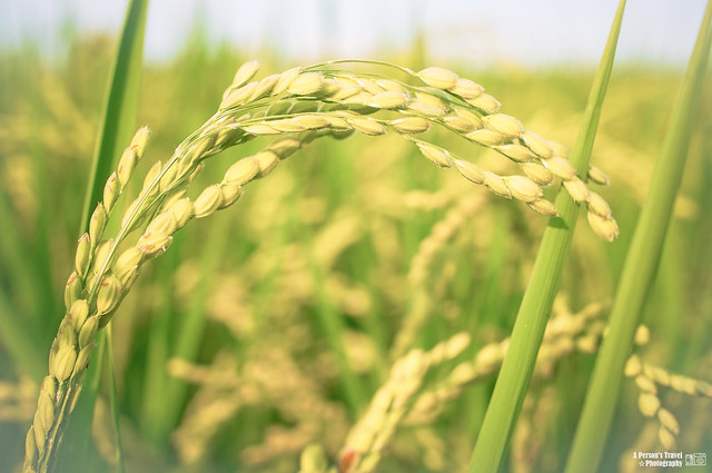 夏天的稻穗
