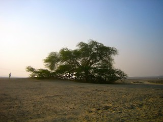 Tree of life, alone in the middle of the desert, Bahrain - البحرين‎‎