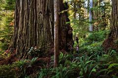 Coast Redwood Titan