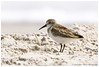 Western Sandpiper © (Explored)