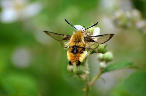 Narrow-bordered Bee Hawk-moth