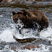 Brown Bear Fishing (Martin Potter)