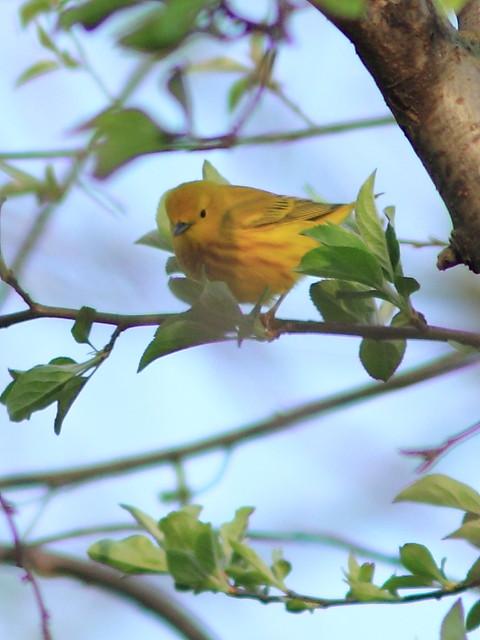 Yellow Warbler 20130502