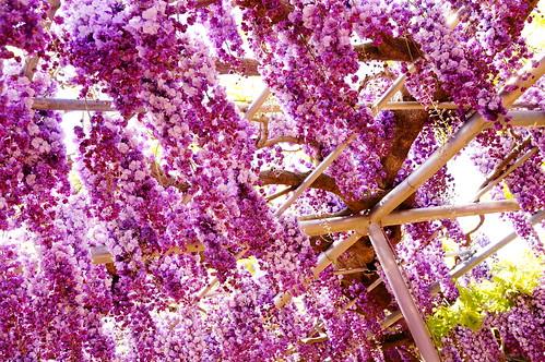 yae fuji wisteria