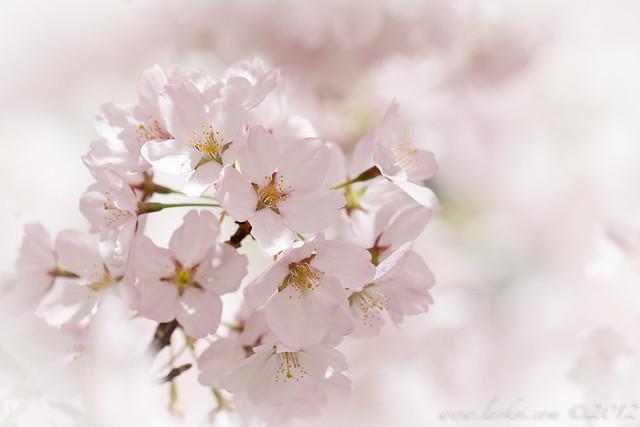 Cherry Blossoms, Toronto, Spring 2013