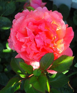 may morning rose