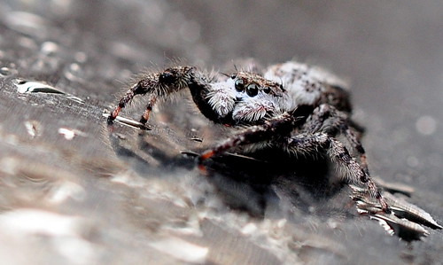 Pogo The Daring Jumping Spider