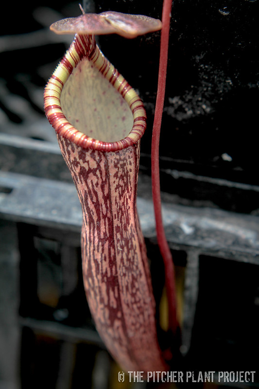 Nepenthes ventricosa x spectabilis