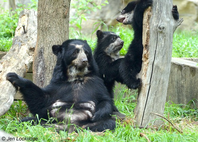 Billie Jean relaxes while her cubs play