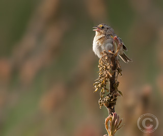 Grasshopper sparrow | by Rob Lonsberry Photography
