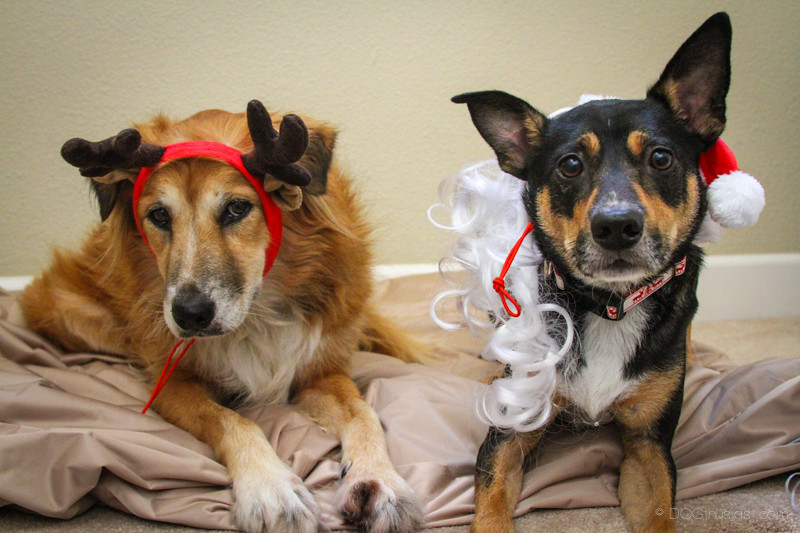 Two holiday dogs in costume