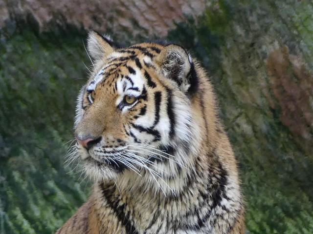 Sibirischer Tiger, Nürnberg