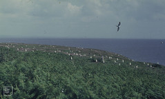 New East gull colony advances into bracken. Flat Holm 1971