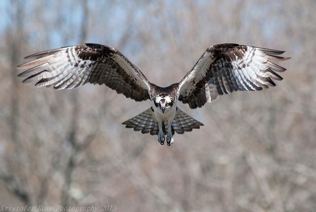 Osprey Hovering 1 5/1