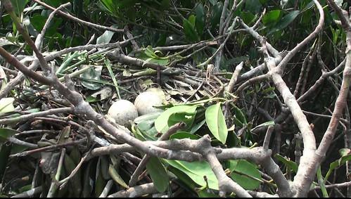 埃及聖䴉巢中等待孵化的蛋(照片提供:林務局)