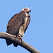 Red-headed Vulture (Simon Woolley)